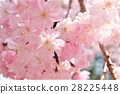 yoshino cherry tree, cherry blossom, cherry tree 28225448