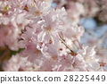 yoshino cherry tree, cherry blossom, cherry tree 28225449