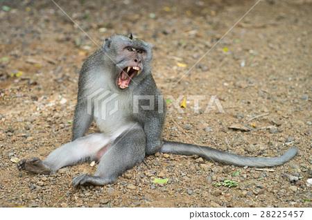 Monkey showing fangs 28225457