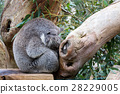 Koala having a nap 28229005