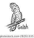vector illustration galah 28261335