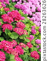 Floral background: blooming hydrangea 28263626