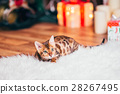 bengalcat kitten brown spotted 28267495