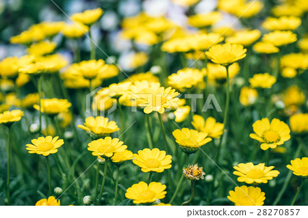 小黃花,植物,花,草,yellow flower 28270857