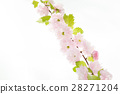 Sakura branch isolatet on white background 28271204