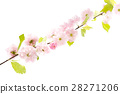 Sakura branch isolatet on white background 28271206