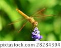 Dragonfly macro 28284394