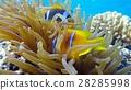 Clown fish in anemone close, Red sea. Egypt 28285998