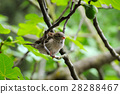 Grey sparrow on a tree branch. Focus on the bird.  28288467