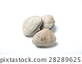 isolated clam 28289625