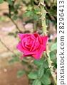 Rose 28296413