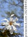 星玉兰 花朵 花卉 28298445