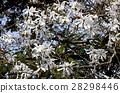 星玉兰 花朵 花卉 28298446