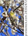 梅花 繡眼鳥 白梅花 28302872