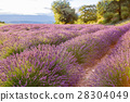 Lavender fields near Valensole in Provence, France 28304049