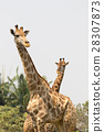 Image of a giraffe on nature background.  28307873