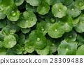 植物 水珠 水 28309488