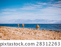 Camels on beach coast Sinai, Egypt, Africa 28312263