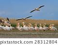 white pelicans (pelecanus onocrotalus) 28312804