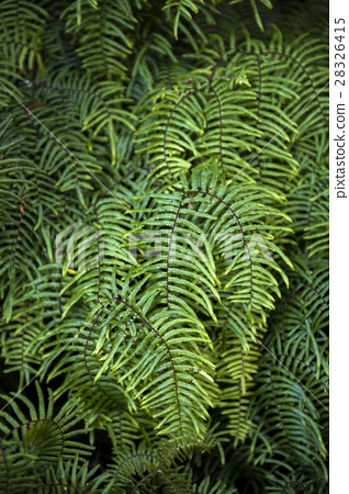 Fern in the forest of New Zealand 28326415
