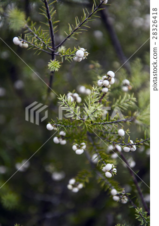 Green leaves and its white fruits as background 28326418