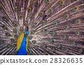 动物 孔雀 鸟儿 28326635