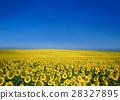 스페인 안달루시아 해바라기 밭 28327895