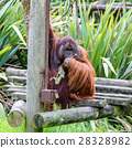 Bornean orangutan (Pongo pygmaeus) 28328982