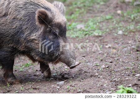 [Animal] Boar (1) 28329322