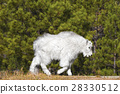 Young mountain goat. 28330512