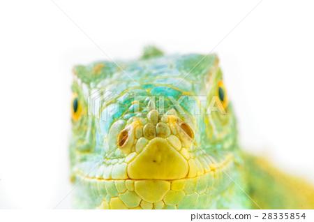 one green iguana 28335854