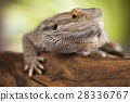 Agama bearded, pet on black background, reptile 28336767