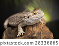 Lizard root, Bearded Dragon on black mirror  28336865