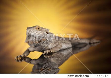 Sun background, Dragon, Agama Lizard 28336912