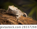 Agama bearded, pet on black background, reptile 28337268