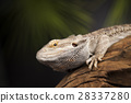 Agama bearded, pet on black background, reptile 28337280