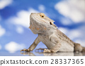 Sky background, Pet, lizard Bearded Dragon 28337365