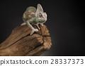 Root, Green chameleon, lizard background 28337373