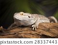 Lizard root, Bearded Dragon on black mirror 28337443