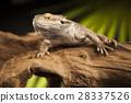 agama animal australian 28337526