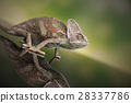 Chameleon on green mirror background 28337786