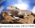 Agama bearded, pet on black background, reptile 28337886