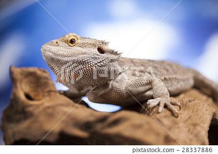 Agama bearded, pet on black background, reptile 28337886