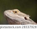 agama animal australian 28337928