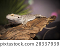 Animal Lizard, Bearded Dragon on mirror background 28337939