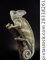 Animal, Chameleon lizard 28338261
