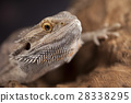 Agama bearded, pet on black background, reptile 28338295