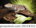 Lizard root, Bearded Dragon on green background 28338302