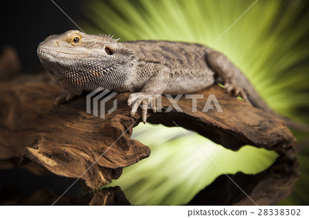 Lizard root, Bearded Dragon on green background 28338302