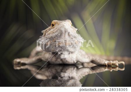 Agama bearded, pet on black background, reptile 28338305